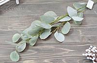 Гілка евкаліпта сірого великого латекс, фото 1