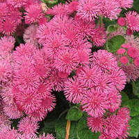 Агератум розовый, семена 0,1 г