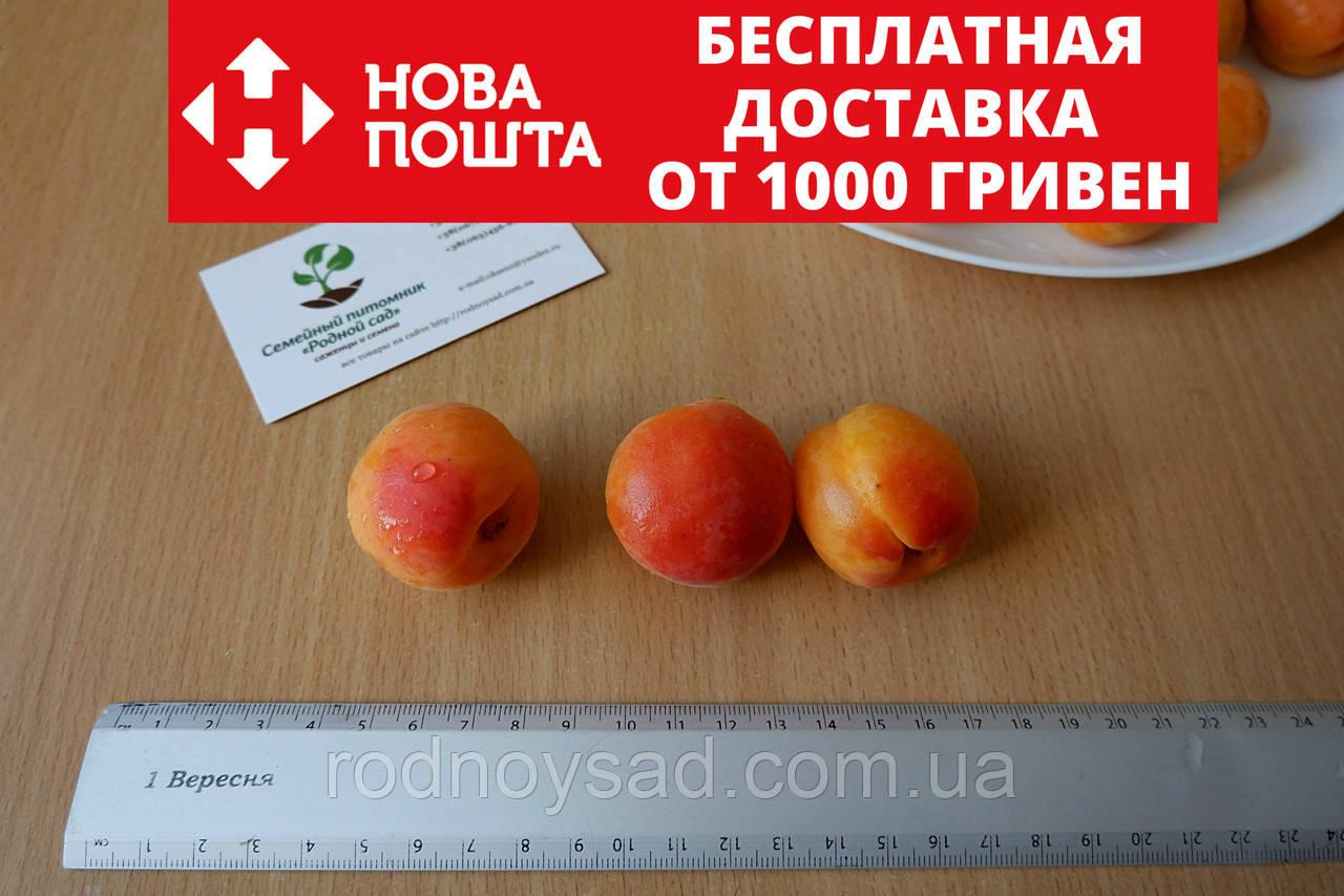 Абрикос ранний (30 штук) семена косточки (для саженцев, насіння для саджанців + инструкция + подарок