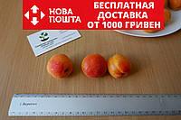 Абрикос ранний (30 штук) семена косточки (для саженцев, насіння для саджанців + инструкция + подарок, фото 1