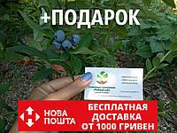 Голубика семена (20 штук) Vaccínium uliginósum насіння лохини, косточка, семечка для саженцев + инструкция