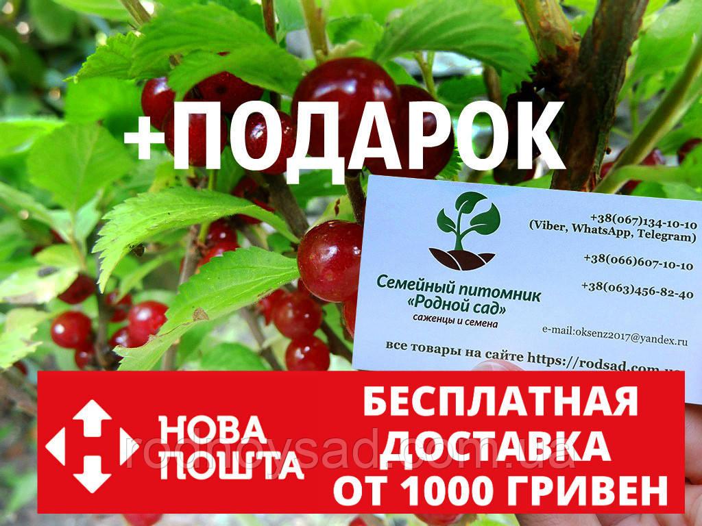 Войлочная вишня семена 10 шт, косточки для саженцев Prunus tomentosa насіння на саджанці + инструкции