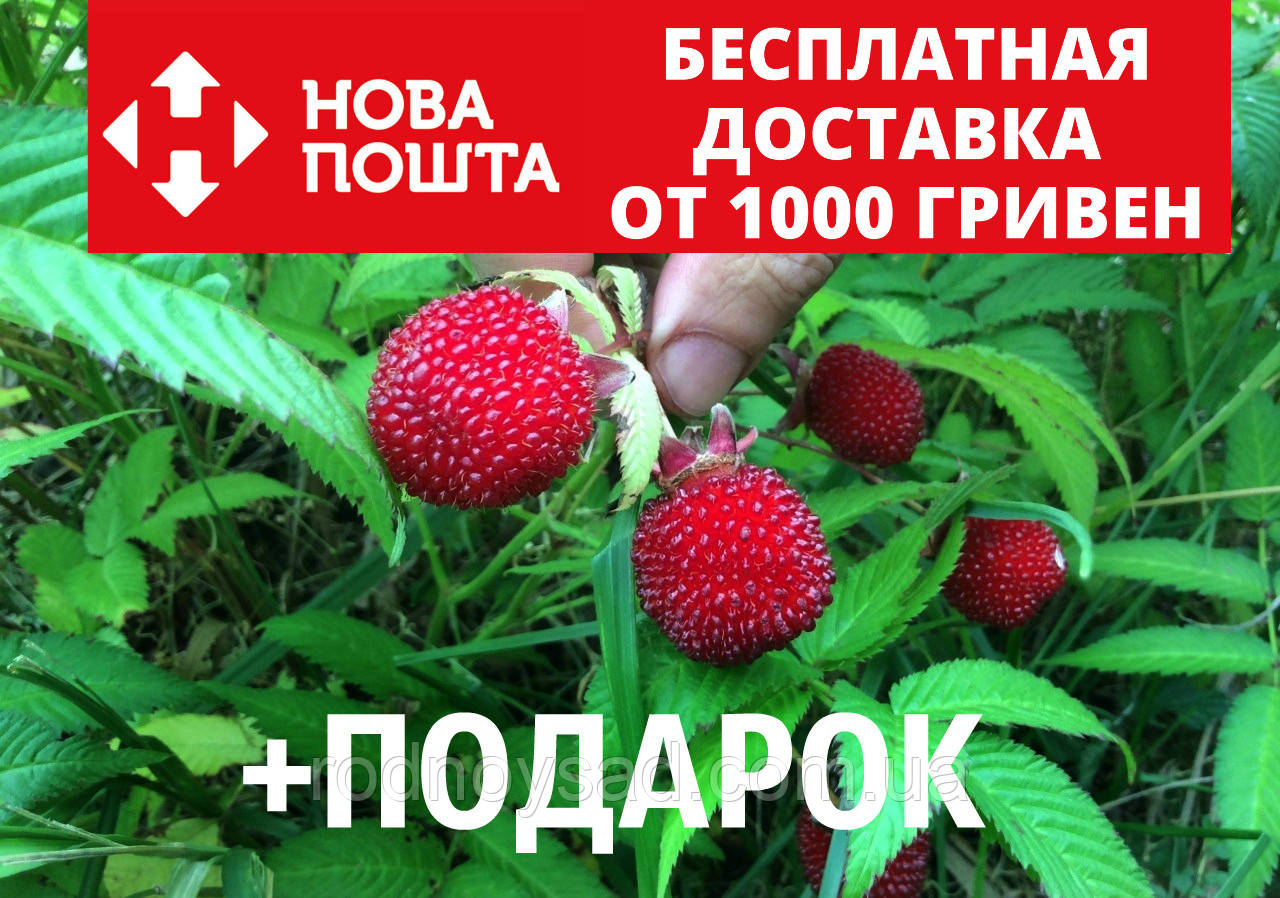 Малина мяо-мяо семена 20 шт тибетская розолистная Rúbus rosifólius для саженцев