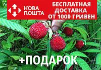 Малина мяо-мяо семена 20 шт тибетская розолистная Rúbus rosifólius для саженцев, фото 1
