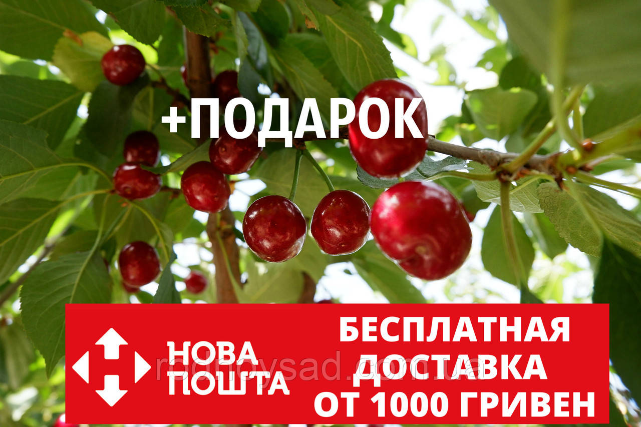 """Вишня """"Чернокорка"""" семена (20 штук) для саженцев (насіння для саджанців)"""