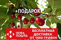 """Вишня """"Чернокорка"""" семена (20 штук) для саженцев (насіння для саджанців), фото 1"""