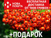 Рябина обыкновенная семена (20 шт) красная, для выращивания саженцев Sórbus aucupária, фото 1