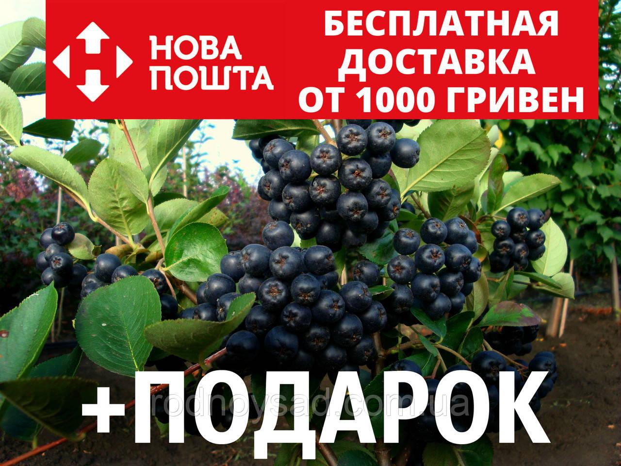 Арония черноплодная семена (20 шт) чёрная рябина Arónia melanocárpa для выращивания саженцев