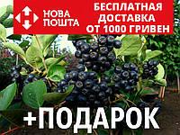 Арония черноплодная семена (20 шт) чёрная рябина Arónia melanocárpa для выращивания саженцев, фото 1
