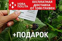 """Ежевика ремонтантная """"Рубен"""" семена (20шт) косточки, семечки для саженцев ожина насіння для саджанців"""