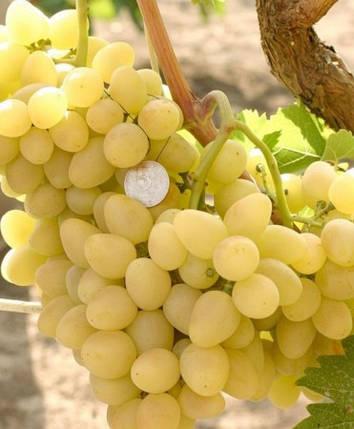 Виноград Аркадия, фото 2