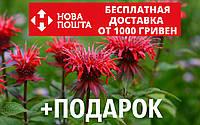 Монарда двойчатая (бергамот, Monarda didyma) семена 20 шт для саженцев насіння на саджанці +инструкции+подарок, фото 1