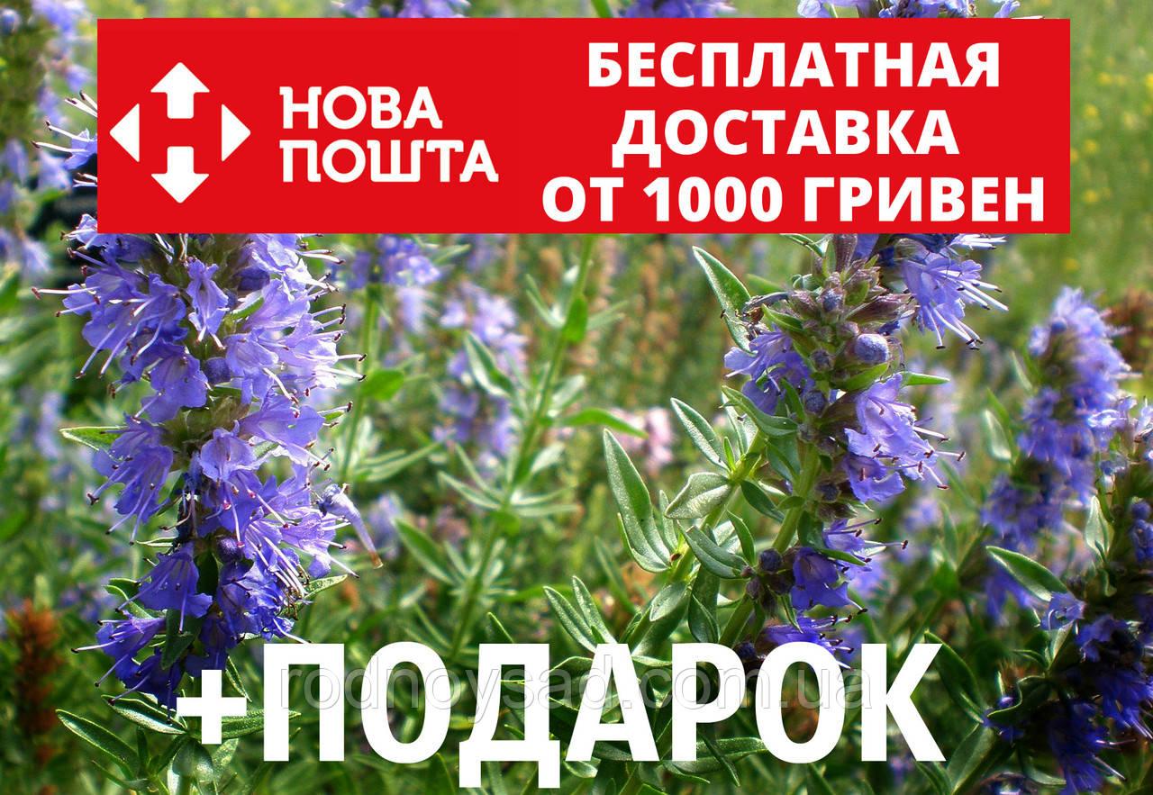 Иссоп семена (20 шт) (узколистный или лекарственный) синий зверобой для саженцев Hyssópus angustifolius