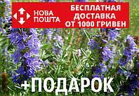 Иссоп семена (20 шт) (узколистный или лекарственный) синий зверобой для саженцев Hyssópus angustifolius, фото 1