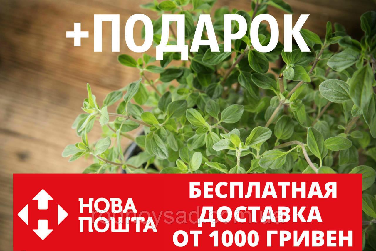 Душица обыкновенная семена (20 шт) орегано, Oríganum vulgáre для выращивания саженцев