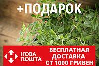 Душица обыкновенная семена (20 шт) орегано, Oríganum vulgáre для выращивания саженцев, фото 1