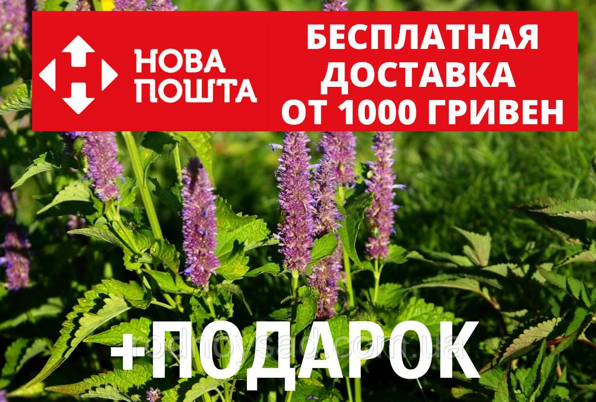 Лофант анисовый семена 20 шт Многоколосник фенхельный Agastache foeniculum насіння + инструкции