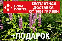 Лофант анисовый семена 20 шт Многоколосник фенхельный Agastache foeniculum насіння + инструкции, фото 1