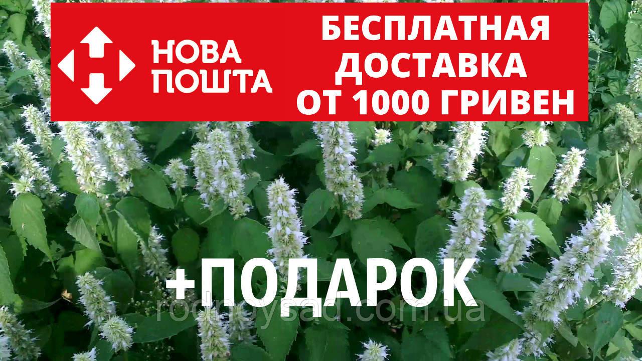 Лофант тибетский семена 20 шт корейская мята Agastache rugosa Многоколосник морщинистый насіння + инструкции