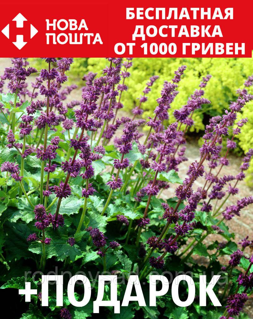 Шалфей мутовчатый семена 20 шт шавлія сальвия насіння (Salvia verticillata) + подарок + инструкции