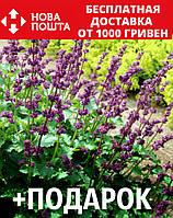 Шалфей мутовчатый семена 20 шт шавлія сальвия насіння (Salvia verticillata) + подарок + инструкции, фото 1