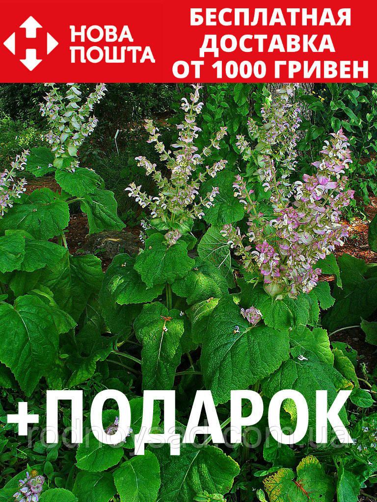Шалфей мускатный семена 20 шт шавлія сальвия насіння (Salvia sclarea) + подарок + инструкции
