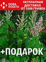 Шалфей мускатный семена 20 шт шавлія сальвия насіння (Salvia sclarea) + подарок + инструкции, фото 1