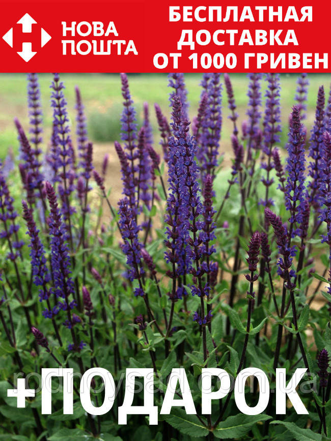 Шалфей дубравный семена 20 шт шавлія сальвия насіння (Salvia nemorosa) + подарок + инструкции