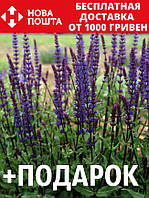 Шалфей дубравный семена 20 шт шавлія сальвия насіння (Salvia nemorosa) + подарок + инструкции, фото 1