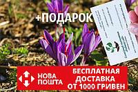 Шафран посевной луковицы 20 штук (шафрановый крокус семена) Crocus sativus + инструкция + подарок, фото 1