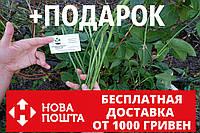 Вигна семена (20 штук) Vīgna unguiculata (китайская спаржевая фасоль спагетти, коровий горох) вігна насіння