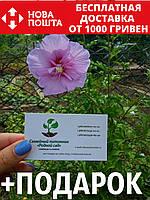 Гибискус махровый двухцветный семена (20 шт) сирийский, древовидный, садовый, Hibíscus syríacus многолетние