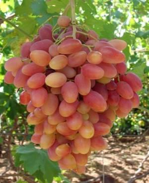 Виноград Преображення, фото 2