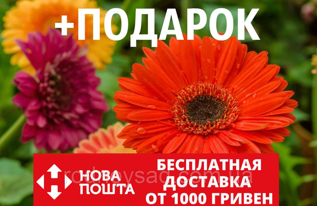 Гербера садовая семена (20 шт) цветы Gerbera
