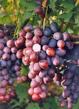 Виноград Низина, фото 2