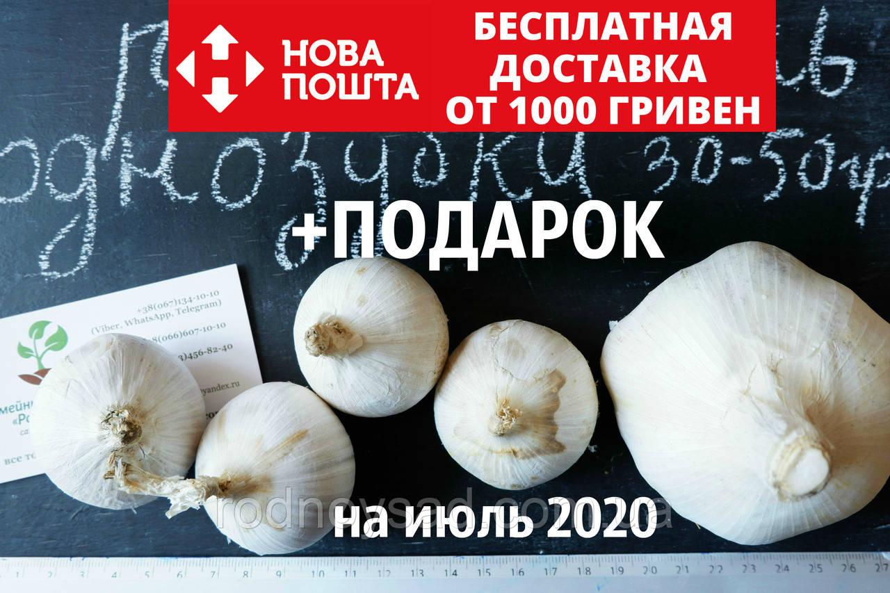 Рокамболь испанский однозубки 30-50 грамм(10 штук) (слоновий чеснок семена) лук-чеснок, насіння часнику