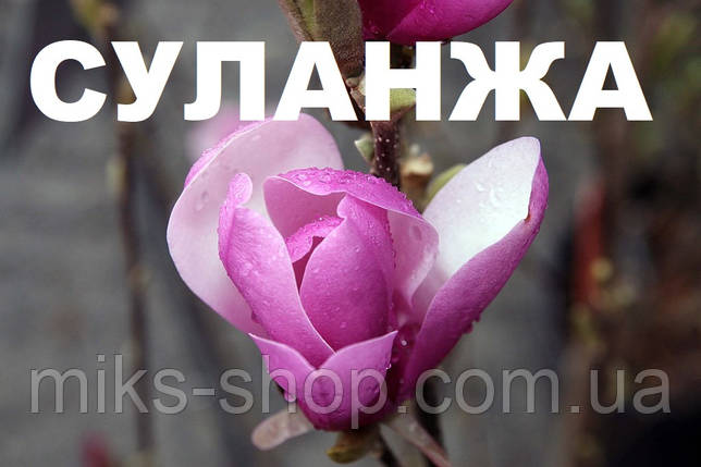 Саженцы Магнолии Суланжа 7-8 лет, фото 2
