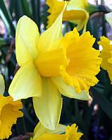 Нарцисс Golden Harvest, фото 1