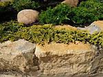 Можжевельник горизонтальный, Juniperus horizontalis 'Golden Carpet',C2-C3, фото 2
