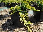 Можжевельник горизонтальный, Juniperus horizontalis 'Golden Carpet',C2-C3, фото 5