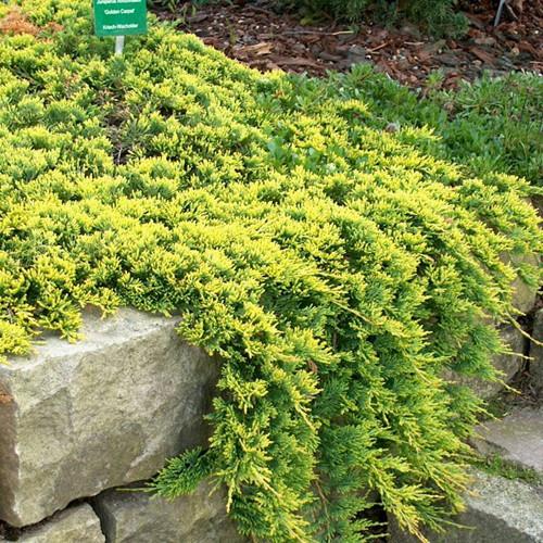 Можжевельник горизонтальный, Juniperus horizontalis 'Golden Carpet',C2-C3