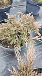 Можжевельник горизонтальный, Juniperus horizontalis 'Golden Carpet',C2-C3, фото 6