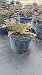 Можжевельник горизонтальный, Juniperus horizontalis 'Golden Carpet',C2-C3, фото 8
