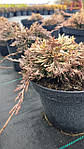 Можжевельник горизонтальный, Juniperus horizontalis 'Golden Carpet',C2-C3, фото 9