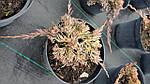 Можжевельник горизонтальный, Juniperus horizontalis 'Golden Carpet',C2-C3, фото 10