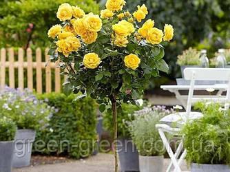 Роза штамбовая желтая Фрезия, саженец