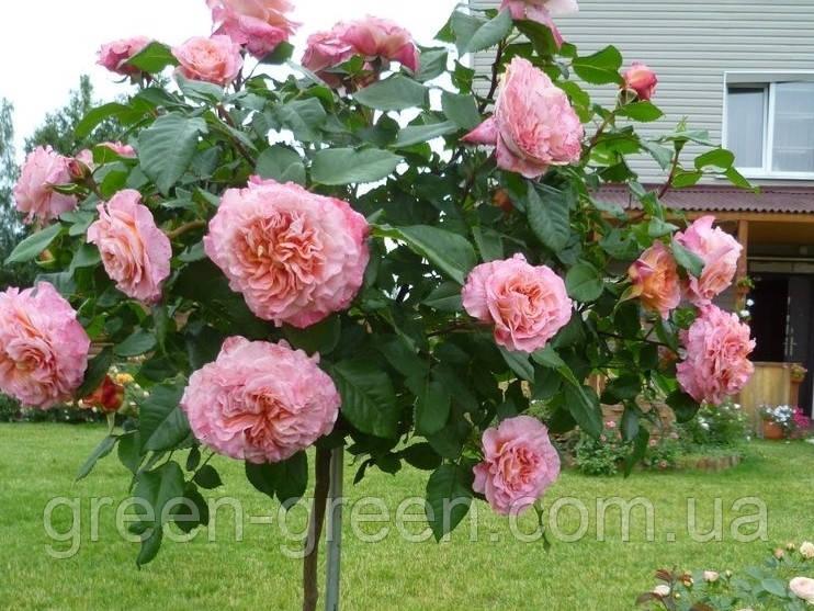 Роза штамбовая кораллово-розовая Луиза Августа, саженец