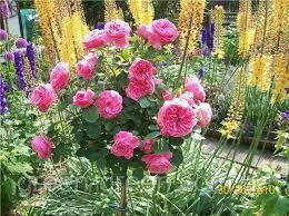 Роза штамбовая малиновая Леонардо да Винчи, саженец