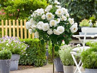 Роза штамбовая белая Ирен Датская, саженец