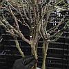 Роза штамбова червона Гордість Гартнера, саджанець, фото 2